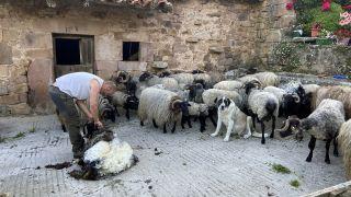Esquila de ovejas en Cicera