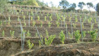 Terrazas de viñedos, a la salida de Albaredos