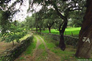 Camino y alcornoques llegando a Aracena