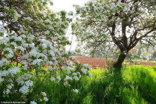 Almendros en flor junto al camino, en el lugar de A Baília