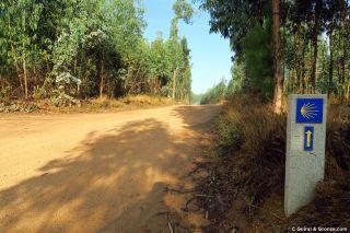 El camino atraviesa un bosque de eucaliptos, de camino a Albergaria-a-Velha