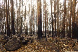 Bosque quemado de eucaliptos, Portecelo