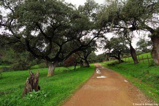 Camino de tierra entre encina al final de la etapa de Aracena a Cañaveral de León