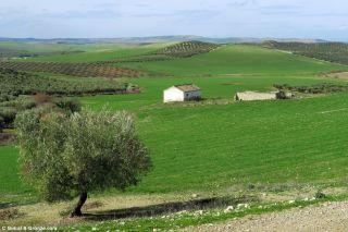Olivos y campos de cereal en el ecuador de la etapa Castro del Río - Santa Cruz