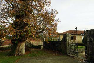 Castaño junto a la puerta del cementerio de San Pedro de A Ramallosa