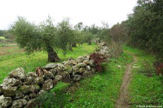 Camino junto a olivos a la salida de Valencia del Ventoso
