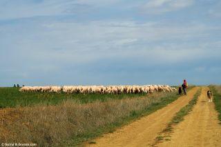 Un pastor y su rebaño cerca de Fontihoyuelo