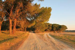 Pinar y camino de arena, a la salida de Alcazarén