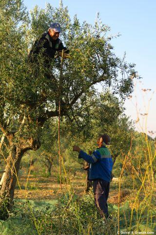 Vareando los olivos